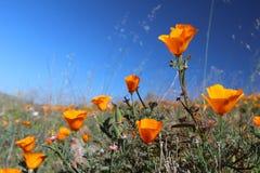 Champ d'or de pavot de la Californie, la Californie, Etats-Unis Photographie stock libre de droits