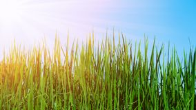 Champ d'herbe avec le soleil Photographie stock libre de droits