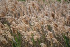 Champ d'herbe de blé Photographie stock