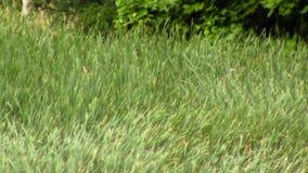 Champ d'herbe en vent banque de vidéos