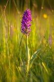 Champ d'herbe naturel avec les orchidées européennes sauvages Images libres de droits