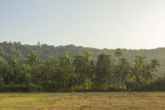 Champ d'herbe sèche contre une palmeraie et une forêt vertes sous un ciel bleu clair photo stock