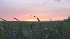 Champ d'herbe verte au coucher du soleil banque de vidéos
