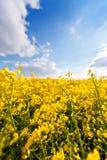 Champ d'huile de graine de colza jaune images libres de droits