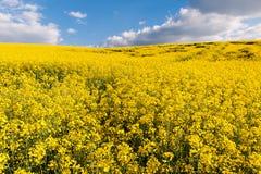 Champ d'huile de graine de colza jaune Photo stock