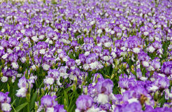 Champ d'iris Photo stock