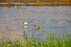 Champ d'oiseau et de riz Photographie stock libre de droits