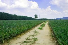 Champ d'usine d'ananas photographie stock libre de droits