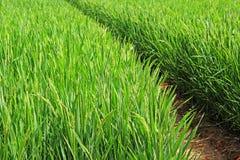Champ d'usine de riz Images stock
