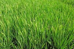 Champ d'usine de riz Photographie stock libre de droits