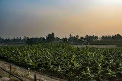 Champ de banane au Bangladesh image libre de droits