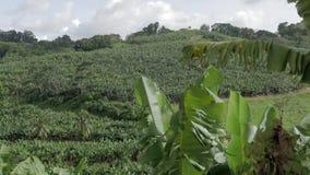 Champ de banane dans une colline des Antilles banque de vidéos