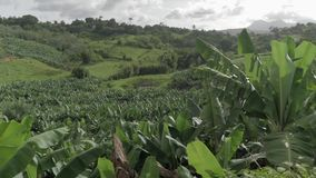 Champ de banane dans une zone rurale des Antilles banque de vidéos