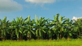 Champ de banane, ferme de banane avec le fond de ciel bleu banque de vidéos
