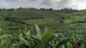 Champ de banane verte dans une campagne des Caraïbe de zone rurale des Antilles banque de vidéos