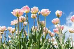 Champ de belles tulipes néerlandaises avec un ciel bleu clair images libres de droits