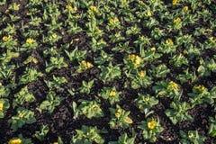 Champ de belles usines de jardin avec les fleurs jaunes dans une rangée photos stock