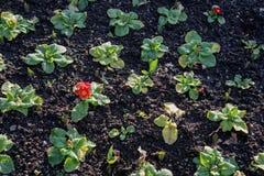 Champ de belles usines de jardin avec les fleurs jaunes dans une rangée photos libres de droits