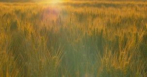Champ de blé à l'aube ou au coucher du soleil s'orienter clips vidéos