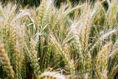Champ de blé Image stock