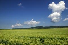 Champ de blé Photo stock