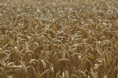Champ de blé Images stock