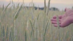 Champ de blé allant fonctionnant de main d'homme Oreilles émouvantes de main masculine de plan rapproché de seigle Fermier Concep banque de vidéos