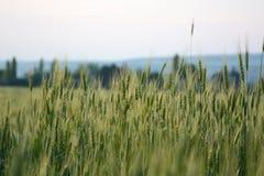 Champ de blé au coucher du soleil Image stock
