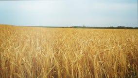 Champ de blé au coucher du soleil, deux moissonneuses travaillant au champ, à une distance de vert et du rouge, se précipitant à  banque de vidéos