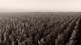Champ de blé au soleil, vue de bourdon banque de vidéos