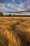 Champ de blé avant coucher du soleil Image stock