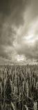 Champ de blé avant la tempête Image stock