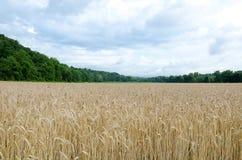 Champ de blé avec des montagnes de Treed et un ciel dramatique Image libre de droits