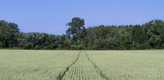 Champ de blé avec des voies de tracteur Photo libre de droits