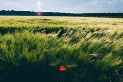 Champ de blé avec la fleur de pavot photographie stock libre de droits