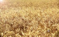Champ de blé avec les oreilles mûres du blé Images stock