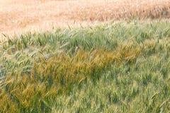 Champ de blé coloré (horizontal) Image stock