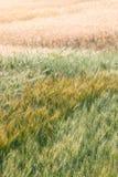 Champ de blé coloré (vertical) Photos libres de droits