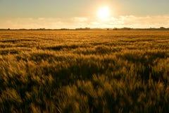 Champ de blé de couleur orange au coucher du soleil photos stock
