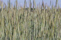 Champ de blé cultivant le paysage Images stock