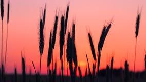 Champ de blé d'été dans la lumière chaude de coucher du soleil banque de vidéos