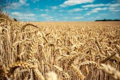 Champ de blé d'été sous un ciel nuageux bleu image stock