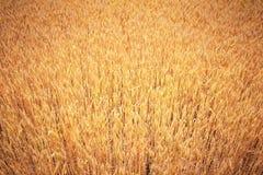 Champ de blé d'or photographie stock