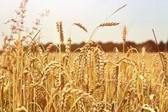 Champ de blé d'or Images stock