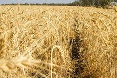 Champ de blé d'or au Queensland central Images libres de droits