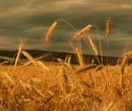 Champ de blé d'or avec le ciel à l'arrière-plan Oreilles de fin de blé  Image stock