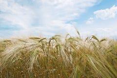Champ de blé d'or et jour ensoleillé Photos libres de droits