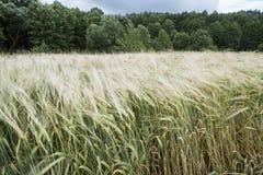 Champ de blé d'ici été images libres de droits
