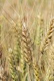 Champ de blé d'or mûr photographie stock libre de droits