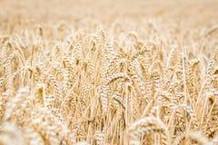 Champ de blé dans la campagne Image libre de droits